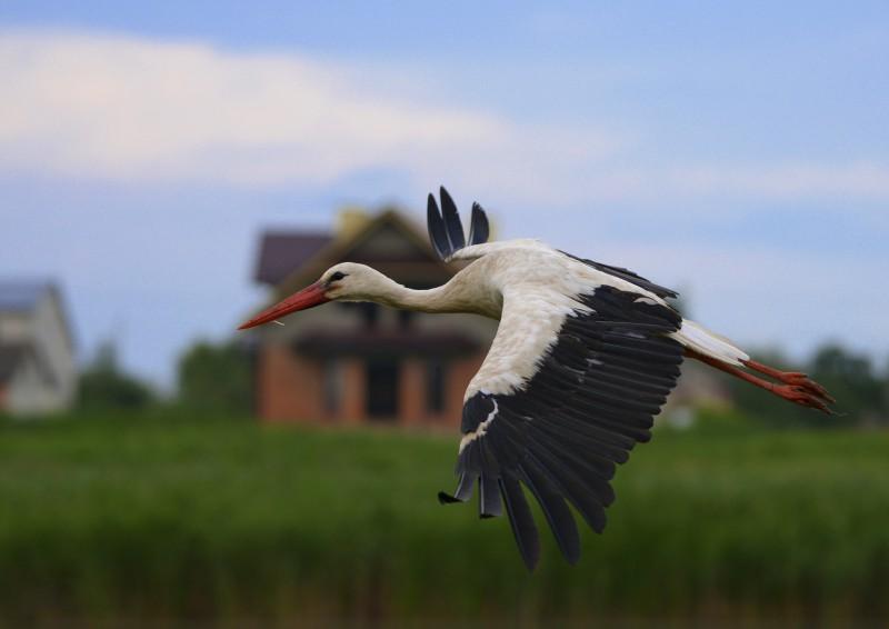 Білий птах з чорною ознакою.